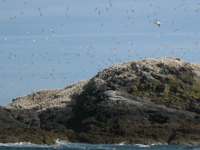 Gannets over west of Grassholm