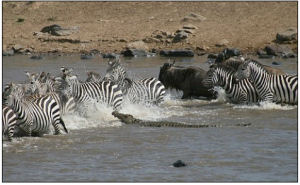 In for the kill: A crocodile moves in on zebra and wildebeest as they battle to cross the Mara river