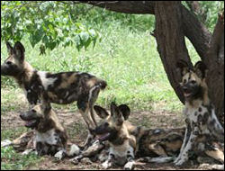Wild dogs resting under a tree